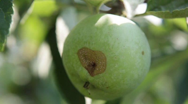 Белый налет на яблоках