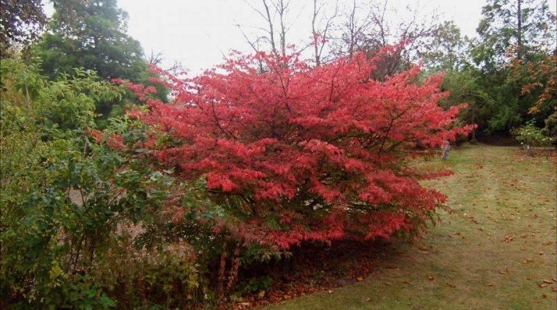 Кустарник с красными листьями
