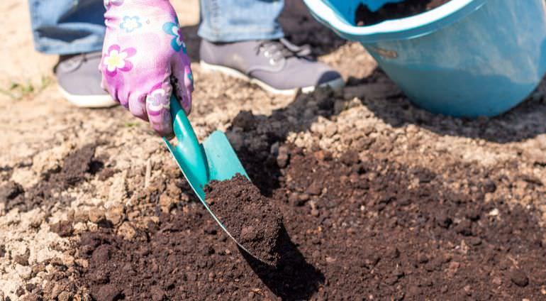 Ранункулюсы выращивание
