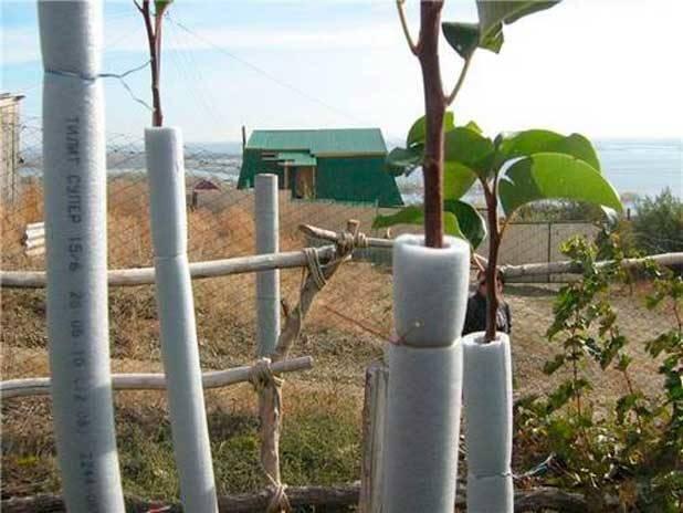 Подготовка яблони к зиме в средней полосе