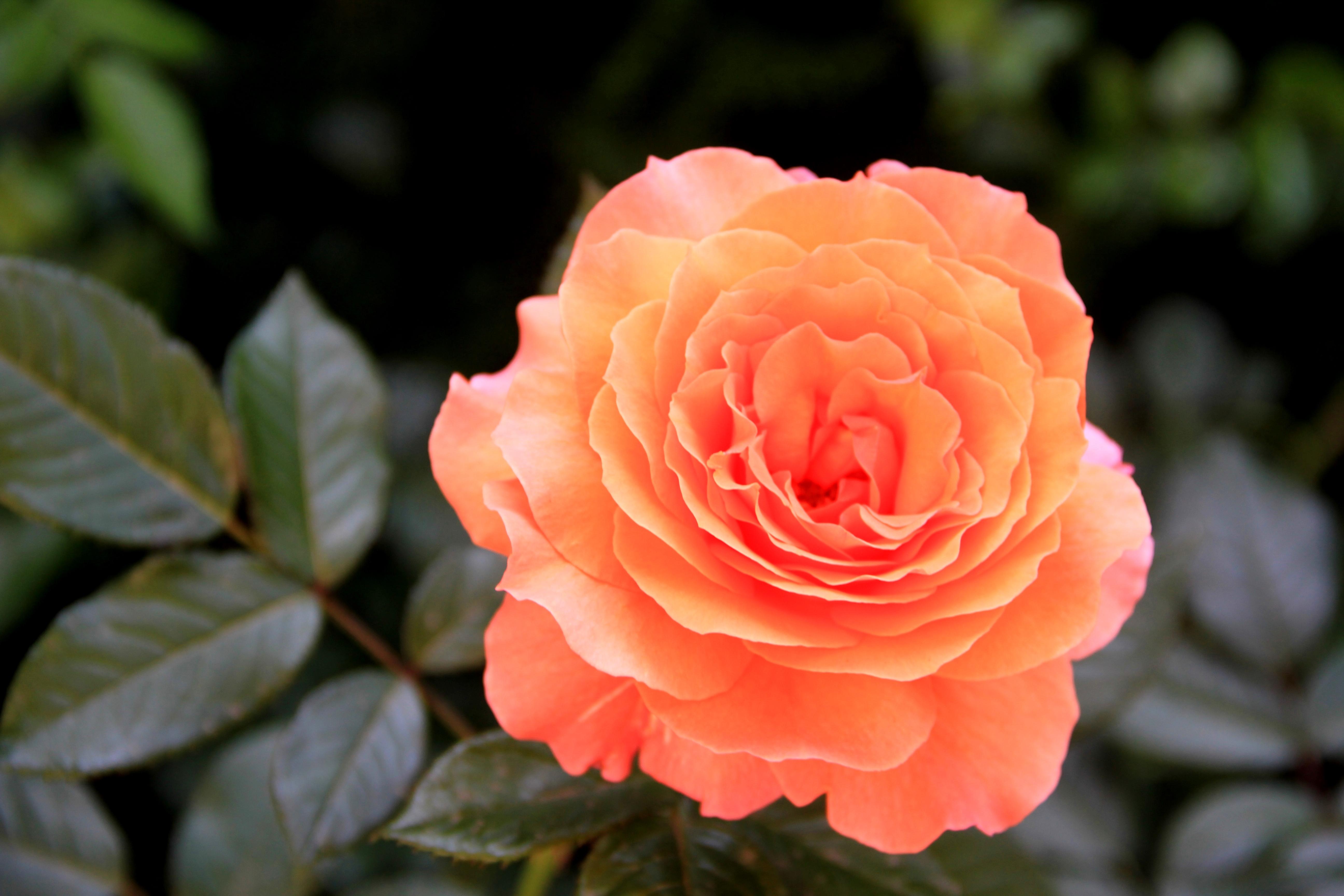 Роза брэдфорд