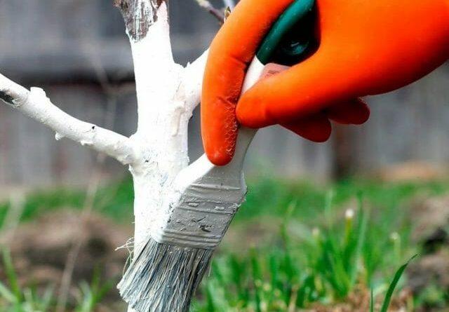 Какой известью белить деревья гашеной или негашеной