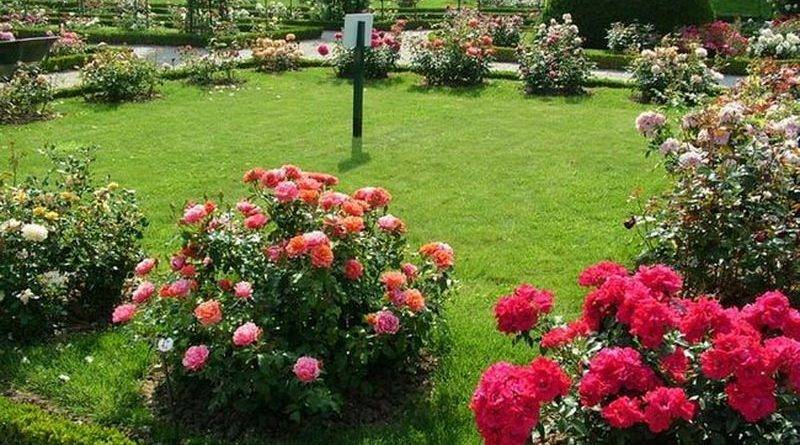 Расстояние между кустами роз при посадке