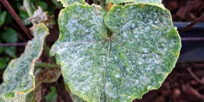 Метронидазол для растений