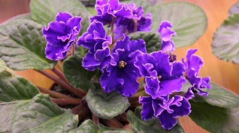 Почему плохо цветут фиалки дома