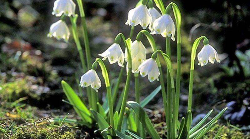 Какое из этих растений появляется ранней весной