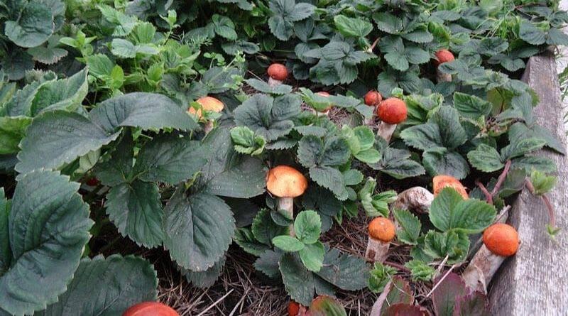 Выращиваем грибы на садовом участке