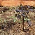 Пузыреплодник калинолистный пурпуреа
