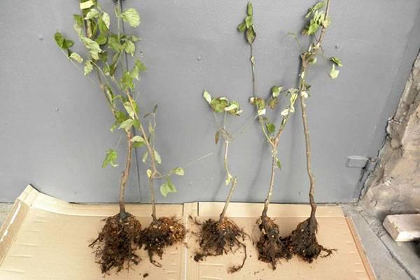 Как вырастить кизил из косточки