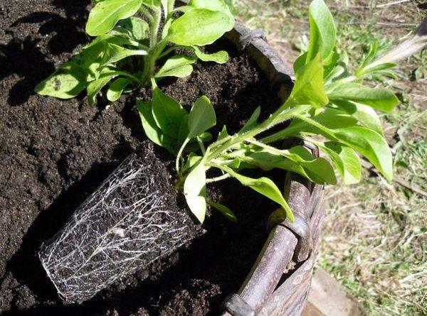 Выращивание петунии на рассаду