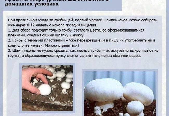 Семена грибов для выращивания