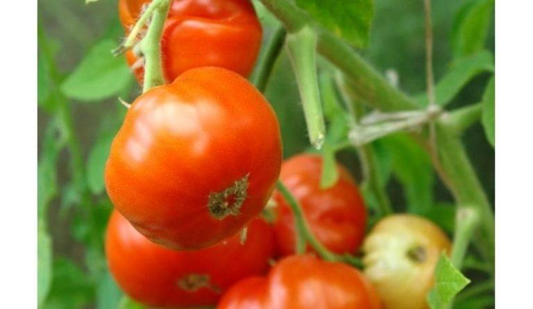 Элитные сорта помидоров