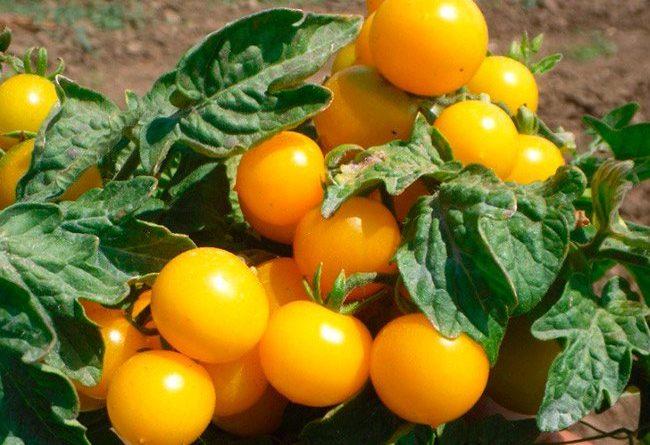 Высокорослые помидоры лучшие сорта урожайность с куста