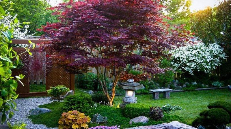 Декоративный клен с красными листьями
