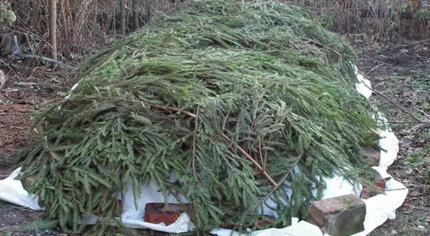 Подготовка клематисов к зиме в ленинградской области