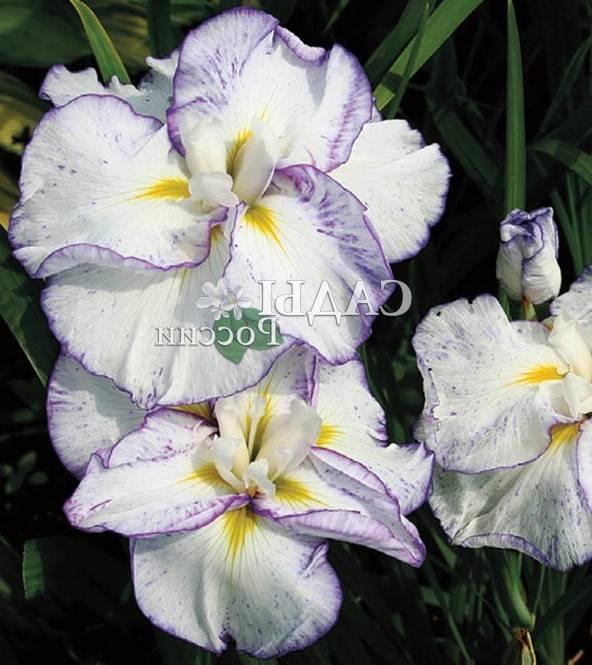 Іриси квіти фото
