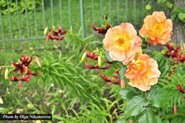 Хвойники с розами в ландшафтном дизайне
