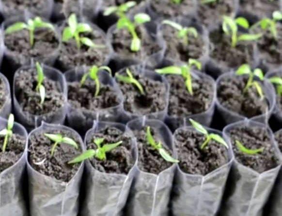 Как выращивать томаты в домашних условиях