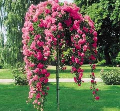 Обрезка штамбовых роз