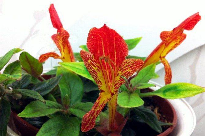 Цветок с большими красными цветами