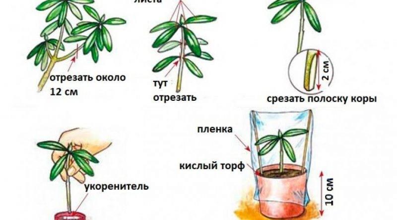 Рододендрон вечнозеленый сорта