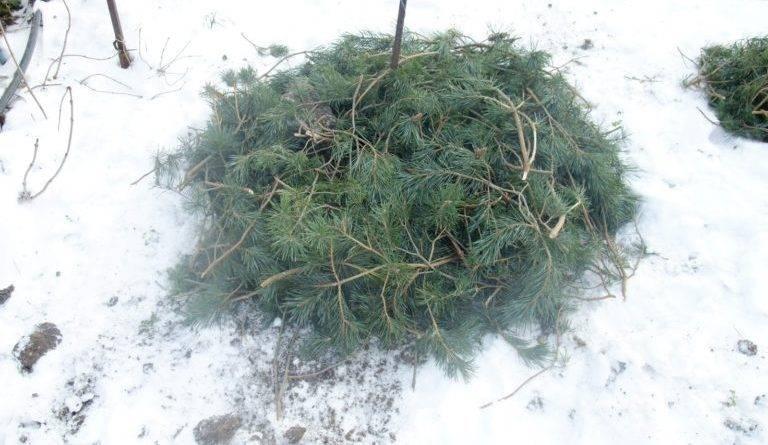 Клематисы на зиму нужно ли укрывать