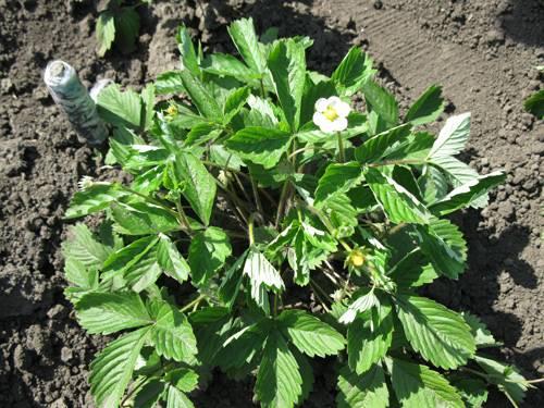 Семена клубники фото