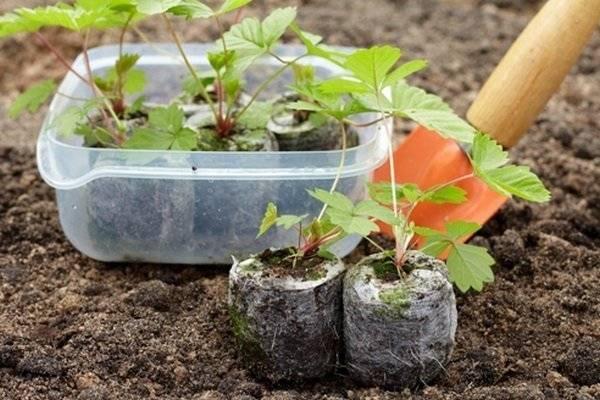 Как вырастить викторию из семян