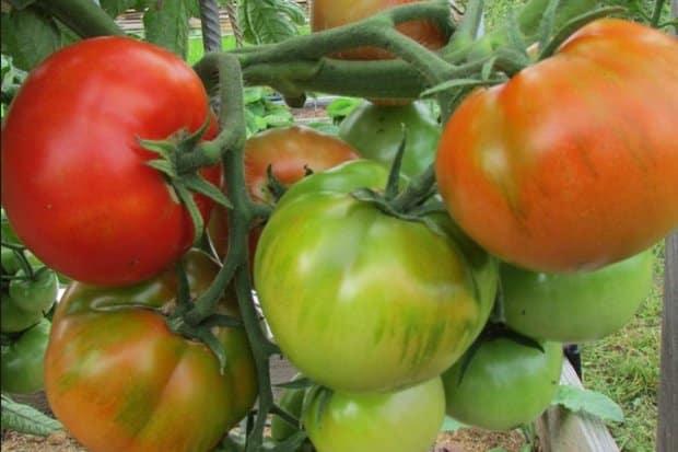 Старосельский томат