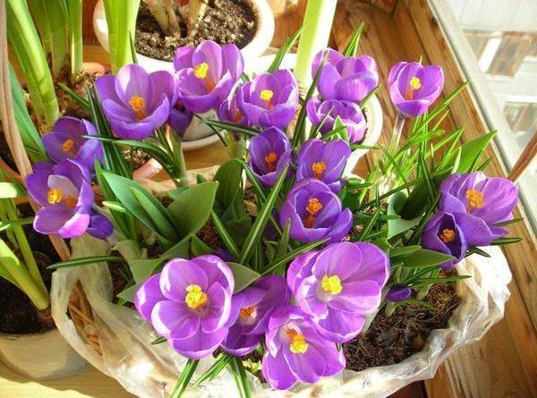 Горшечные растения к 8 марта