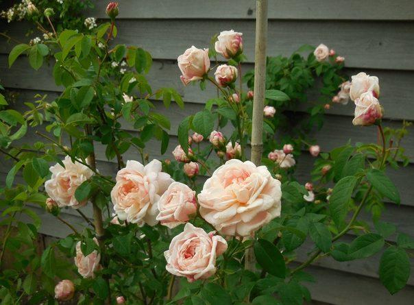Розы для северо запада сорта