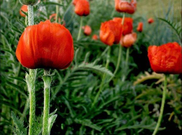 Северные цветы названия