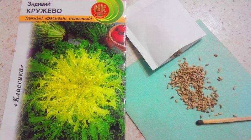 Салат цикорий выращивание