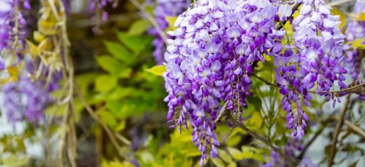 Лиана растение фото