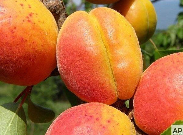 Сорта абрикосов фото с названием и описанием