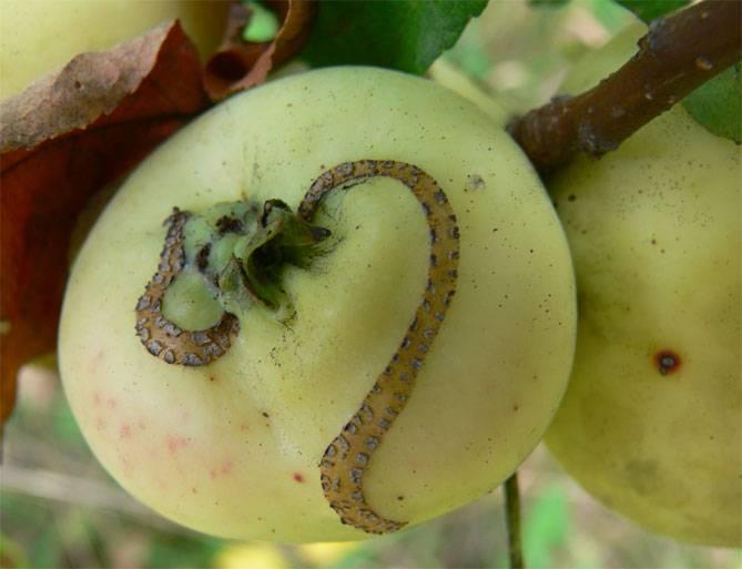 Почему на яблоках черные пятна что делать