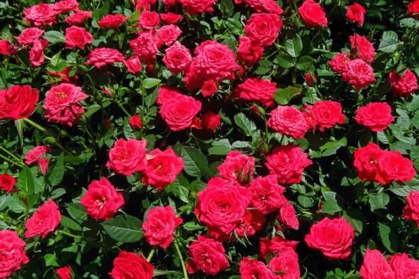 Карликовые розы в саду