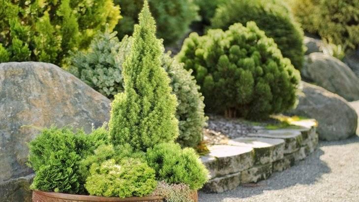 Хвойные низкорослые растения для сада