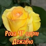Роза дежавю фото и описание