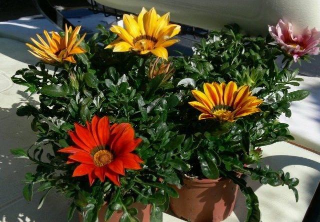 Гацания выращивание и уход зимой