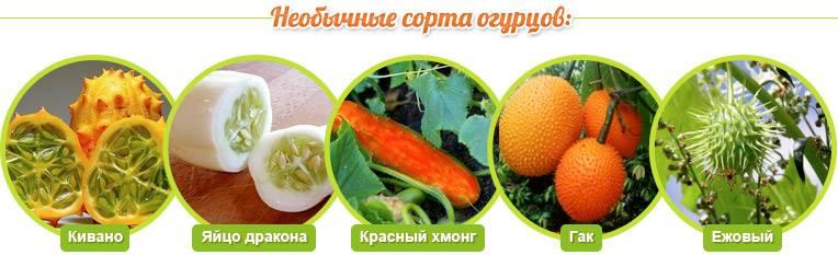 Плод огурца называется