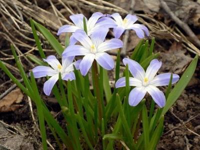 Первоцвет весенний фото