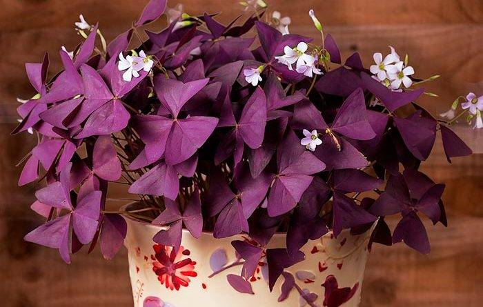 Цветок с сиреневыми листьями