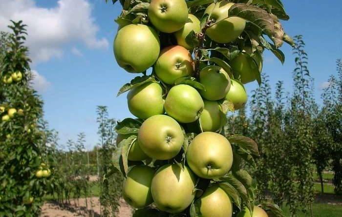 Стратификация семян яблони в домашних условиях
