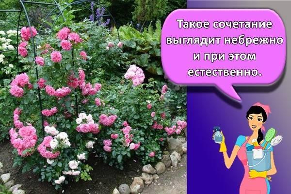 С чем посадить розы на клумбе фото