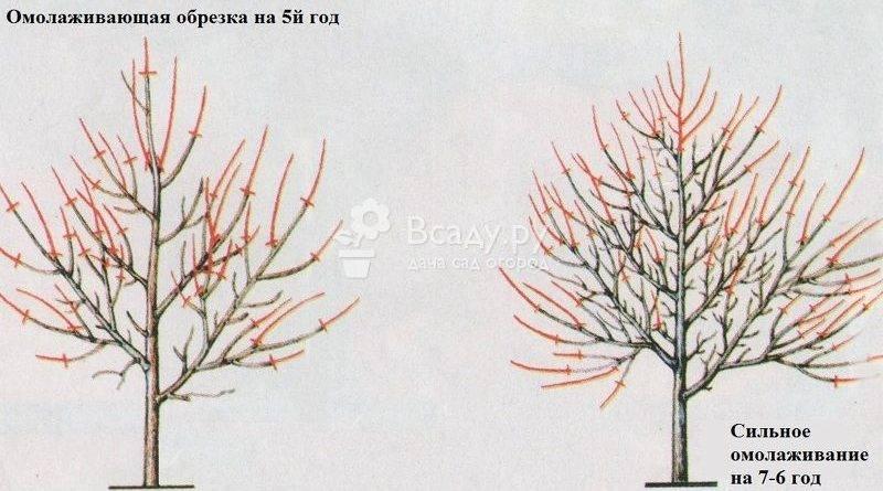 Как обрезать абрикосовое дерево видео