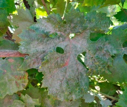Обработка винограда осенью видео