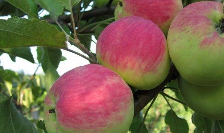 Самые вкусные сорта яблок для средней полосы