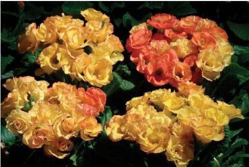 Белые цветы похожие на розы название