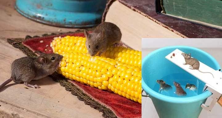 Чего боятся мыши в доме народные средства